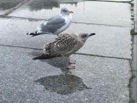 Birds in Trondheim