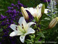 MORNING WALKS - White Lilies - 1