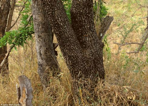 If you look real close, you'll see the Leopard...