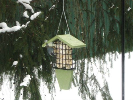 rose-breasted nuthatch at the suet feeder