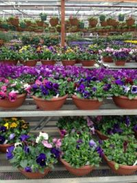 Save the Pansies!