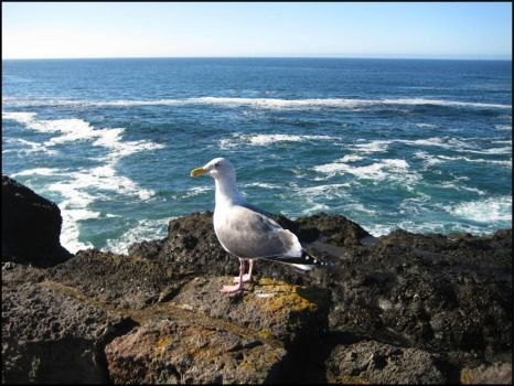 Seagull at Depoe Bay, OR!