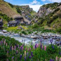 Lupins along a river, Arthurs Pass, New Zealand  6036