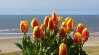 Tulips from Egmond aan Zee