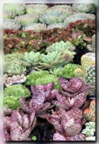 A bed of Succulents