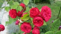 růže Piano