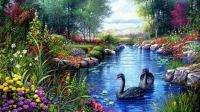 BLACK SWANS IN SPRING POND FOR HUMBY