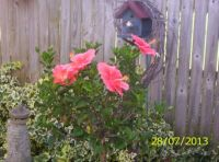 Hibiscus in Bloom
