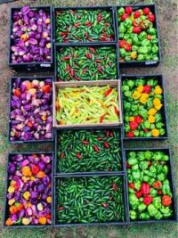 Harvesting Peppers in Texas