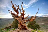Nicknamed 'Methuselah' this Californian bristlecone pine tree was seeded in the year 2833 BC.