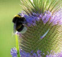 northern white-tailed bumblebee on teasel (grote aardhommel op kaardebol)
