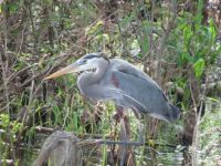 4-20-2015-Reelfoot lake --great blue heron