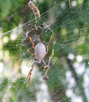 Female Orb spider with egg sac ...