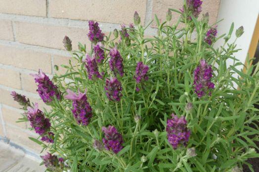 Lavendel in a pot next to my front door