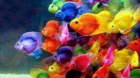 THEME - Colorful Fish