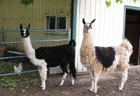 llamas at arrival