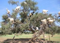 Goats up a tree