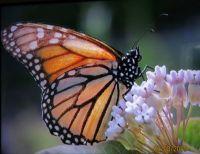 Monarch, so beautiful!