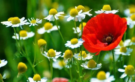 Daisies with a poppy