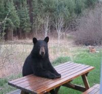 democratic bear