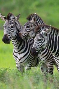 Linda's zebras