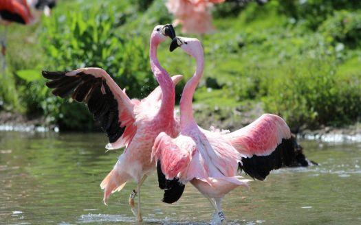 Flamingó szerelem