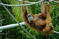Orangutan Hanging Around Leisurely