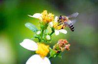 Honey Bee in my yard