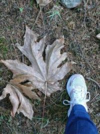 maple leaf from Vancouver Island