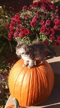Bob the Cat on a Pumpkin