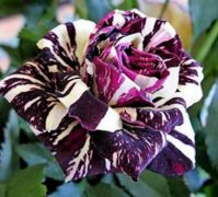 Black Dragon Rose