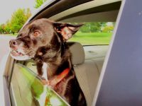 For Nancy, then back to studying.  Ringo snaggle-tooth in the car!