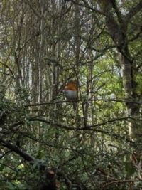 Robin looking for food - Scottish Highlands (1st picture)