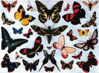 Americana_1920_Butterfly_-_Butterflies_and_Moths_(color)
