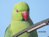 Rose-Ringed Parakeet deep in thought