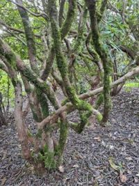 Rhododendron trunks