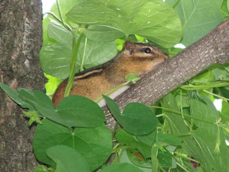 Chipmunk in Morning Glory Vine