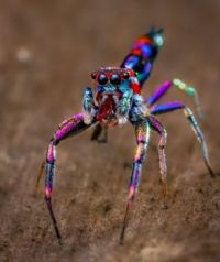 Chrysilla Volupe, the most colourful spider in the world