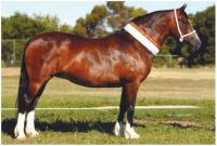 Welsh C bay mare