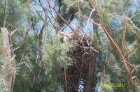 Nest In Salt Cedar near China Lake, CA
