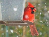 Cardinal at My Feeder