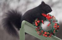 Heathcliff the Christmas Squirrel