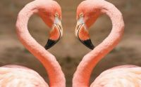 Heart-by-flamingos