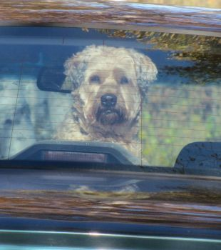 especially for Ank, Buddy looking out the car window after a haircut