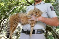 New feline species found on Corsica