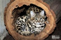 black-footed cat (Felis nigripes) by Cleveland Metroparks Zoo