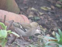 Chaffinch searching for fallen seeds.