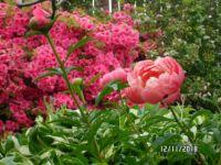 Coral Sunset Peony against pink Azaleas