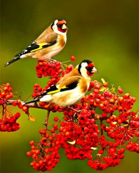 GOLDFINCHES & RED BERRIES