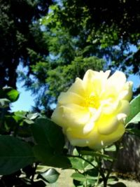 The Yellow Rose of Friendship